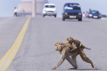 Monkeys cross the road in front of the Presidential Palace and government buildings in New Delhi, India, via TIME