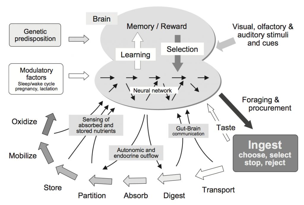 Appetite modulation diagram